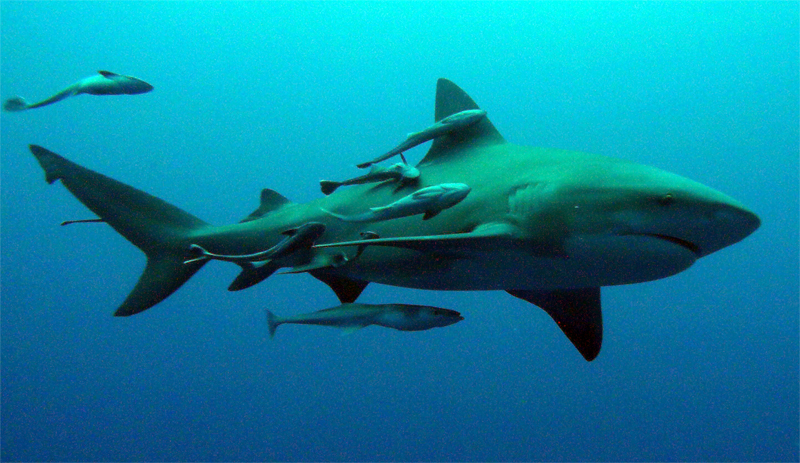 pictures of remoras and sharks symbiotic relationship
